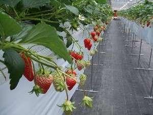 院庄IC~奥津温泉の間にある山田養蜂場いちご農園で(イチゴ狩り)できます~♪はちみつソフト\(~o~)/