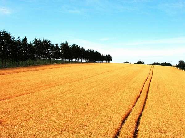 収穫を待つ麦畑8月8日撮影