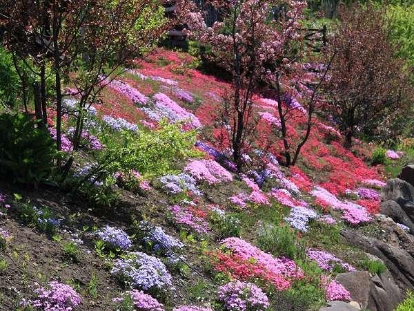 敷地内の芝桜