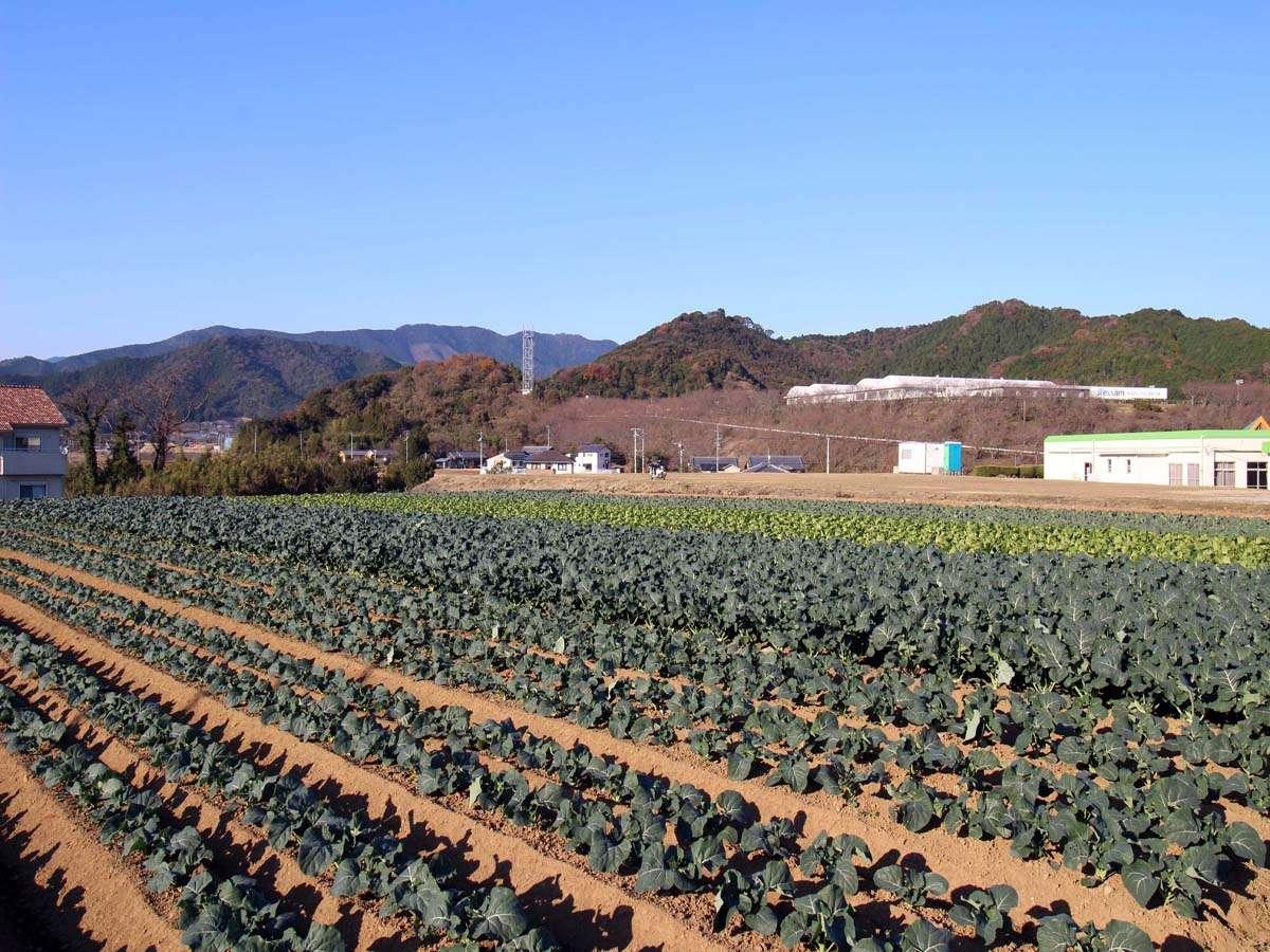 【キャベツ畑】隣の畑の新鮮キャベツは朝食でいただけます!