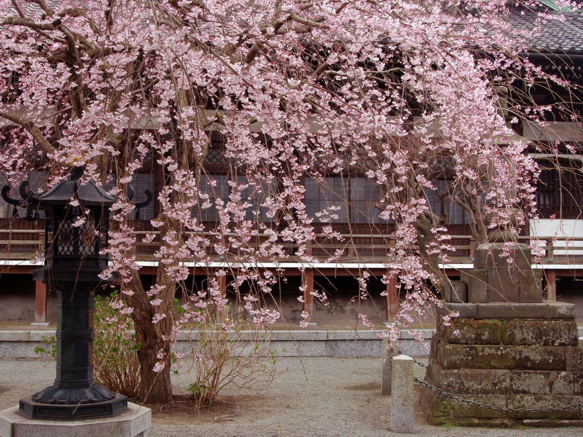 本覚寺さまの桜(写真提供:鎌倉市観光協会)