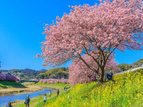 みなみの桜と菜の花まつり 青野川沿いに咲き誇る800本もの河津桜