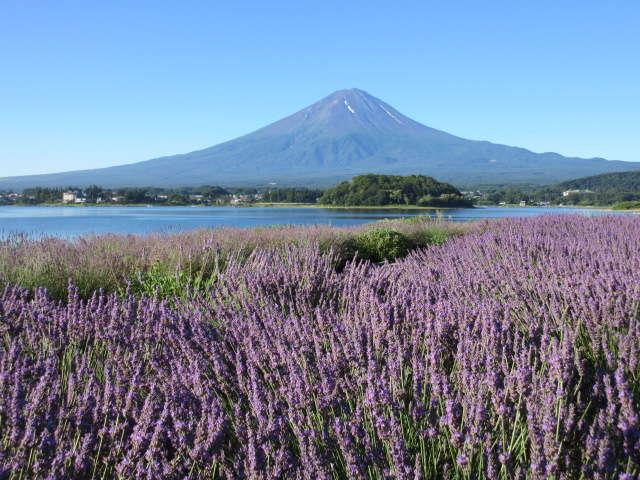 大石公園からラベンダーと富士山