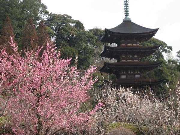 五重塔の梅が見ごろを迎えております。