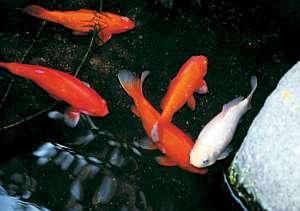 二宮旅館:え?これって金魚?!中庭の池を覗いて見て!