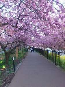 民宿まるい:河津川のすぐそばに咲く河津桜。まるいから車で10分ほどで着きます。