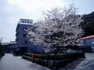 今年も まるさん桜 満開