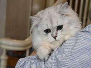 猫のいるお宿 プチホテル・フロマージュ:初めまして、ゆきちゃんです!