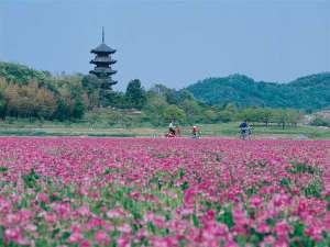 れんげと備中国分寺。まるでピンクのじゅうたん。毎年5月下旬の「れんげまつり」も有名です。