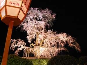 """料理旅館 花楽:円山公園の夜桜(徒歩3分)・・""""円山のしだれ""""とはまさにこれ!4月初旬お花見の人・人で賑わいます"""