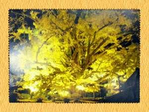 杖立温泉 旅館 日田屋(熊本県阿蘇郡):お車で5分下城大銀杏・樹齢1400年お胸の神様♪
