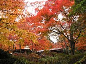強羅温泉 自家温泉掛け流しの宿 強羅環翠楼:*秋には赤・黄色に色づいた見事な紅葉がご覧いただけます。(見ごろ:11月下旬~12月上旬)