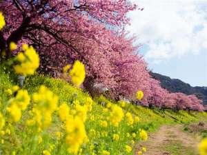 ホテル伊豆急:みなみの桜と菜の花まつり