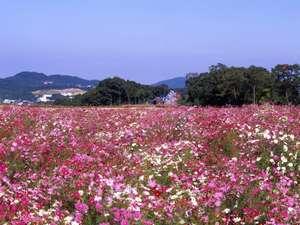 割烹旅館寿美礼:【リフレッシュパーク豊浦】下関の花公園。花いっぱいの公園で、コスモス祭りは大人気です(車で40分)