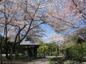 八幡野温泉郷 杜の湯 きらの里:敷地内の桜(例年見頃:3月下旬頃~)