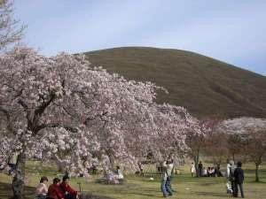 愛犬の宿 ラブリーワンズ:見事な桜をワンちゃんと散策できるさくらの里
