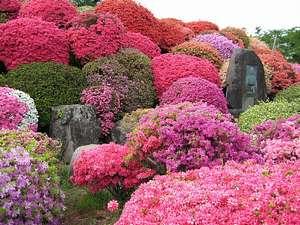 岡谷の鶴峰公園のつつじ、中部地方第一と言われています。5月1日~5月17日「つつじ祭り」が開催。
