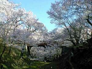 コヒガンザクラの高遠城址公園・淡いピンクの色に染まります。見ごろ4月中旬