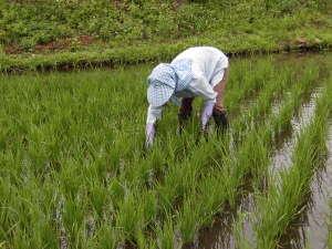 福島屋旅館:自家米を作る田んぼの手入れ