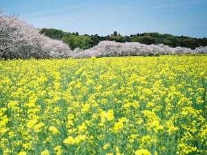 宮崎グリーンホテル:春は桜と菜の花のコントラストが見事です♪西都原古墳群(車で45分)
