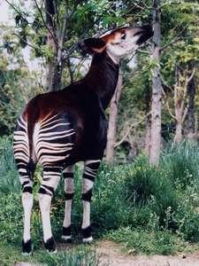 よこはま動物園ズーラシアの珍しい動物「オカピ」