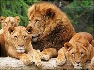 絹の湯 久惠屋旅館:群馬サファリパーク迫力ある!ライオンお得な入園チケット付きプランも好評☆