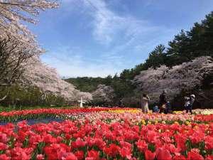 はままつフラワーパークの桜とチューリップ(3月下旬から4月上旬)