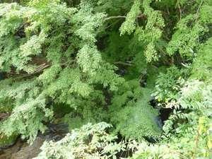 2010/10/29撮影館内敷地内 川の上に広がる大きな紅葉