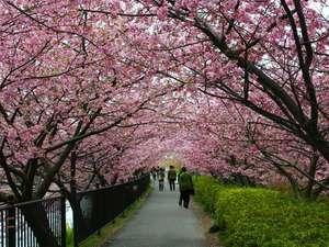 両サイドに河津桜が植えてあり、桜のトンネル、夜のライトアップも◎。
