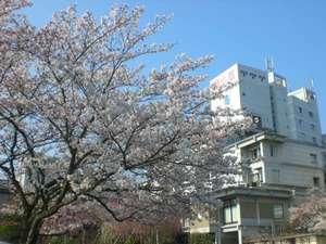 桜満開 正面