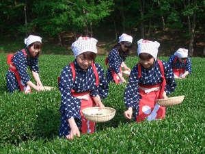 *雰囲気も出る貸し衣装を着て、お茶摘み体験♪(提供:株式会社蔵屋鳴沢)
