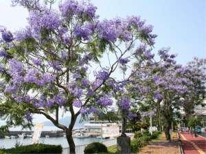 創業三百四十余年 長崎一の歴史を誇る老舗旅館 小浜 伊勢屋旅館:南国の花『ジャカランダ』。6月に紫色の花が咲く、日本では珍しい世界三大花木の花です。
