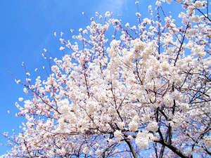 旅館 城山荘:桜の季節になりました♪菊池光園内でのお花見も楽しますよ~
