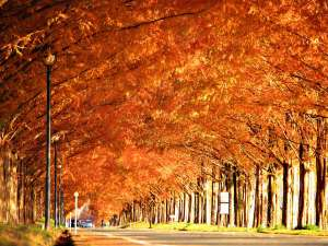 今津サンブリッジホテル:全長2.4km500本のメタセコイヤ並木が織り成す紅葉の絶景