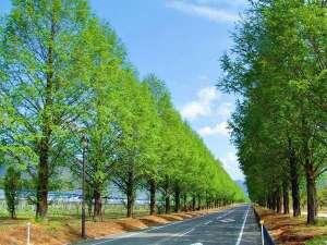 今津サンブリッジホテル:新緑のメタセコイア並木。5月~6月は一年で最も美しい並木の風景がご覧いただけます。