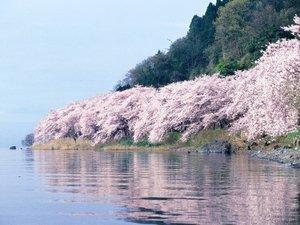 奥琵琶湖マキノグランドパークホテル:例年見ごろは4月の10日前後。海津大崎は当ホテル前桟橋からお花見船で!