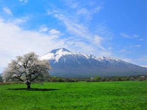 八幡平ロイヤルホテル:【上坊の一本桜】見頃は5月上旬~中旬です。ホテルよりお車で約10分