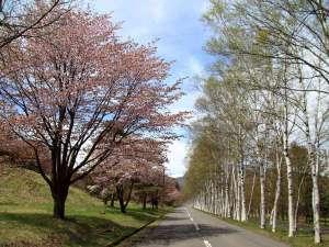 アクティブリゾーツ 岩手八幡平(旧:八幡平ロイヤルホテル):ホテル目の前の白樺と桜の並木道。例年見頃がGWと重なります。