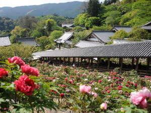 奈良の温泉付ホテル 橿原ロイヤルホテル:「長谷寺」では5月上旬にかけて約150種・7000株のぼたんが美しく咲き誇ります。