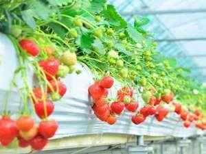 虹の宿 Hotel 花景色:「フルーツの里・うきは」のイチゴ狩り!