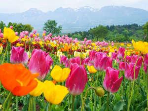 ホテルエピナール那須:那須フラワーワールド<春>高原のお花畑一面に広がるチューリップ♪