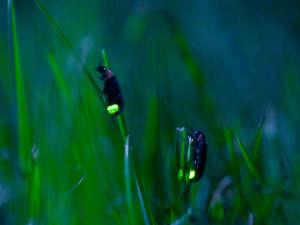 ホテル安比グランド本館&タワー:安比の天然ホタル観察会 自然学校問合せ0195-73-6228