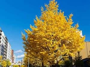 京都シティホテル:ホテル前の堀川通りにはイチョウ並木が続きます。
