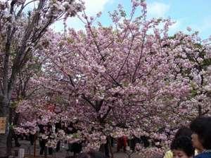 ◆大阪 造幣局「桜の通り抜け」◆お花見の名所!