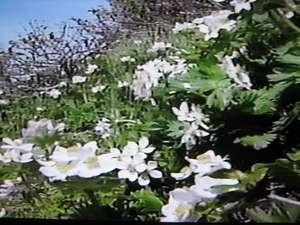 旅館 雪国:高山植物1