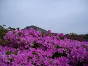 【周辺】5月中旬から下旬阿蘇山上付近は『ミヤマキリシマ』でピンクに染まる。
