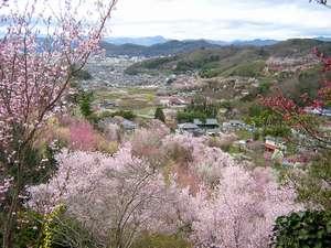 吉川屋から車で30分。福島の桃源郷「花見山」の春です。