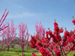 花ももの里では4月初め~5月にかけて、300本のも花ももが見頃をむかえます。吉川屋から車で約10分。
