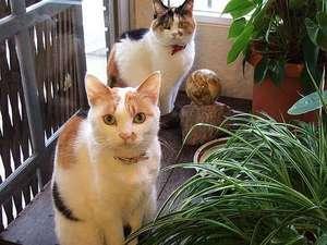 温泉の宿 ホテルニューモンド:三毛猫の親子です。手前からミケ、ナナ。毛並をお客さんに褒められるんです。