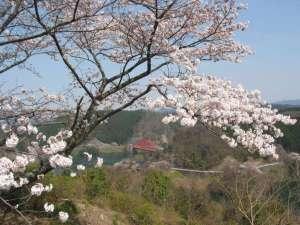 桜と青蓮寺湖